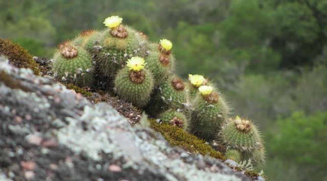 Brazília növényvilága is megjelenik az idei őszi Országos Kaktuszkiállítás és Vásár során. Rendezvény Magazin 2019.